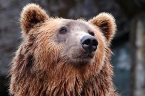 pexel bear