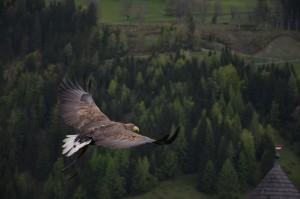 pexel eagle1