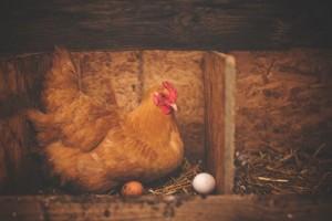 pexel chicken